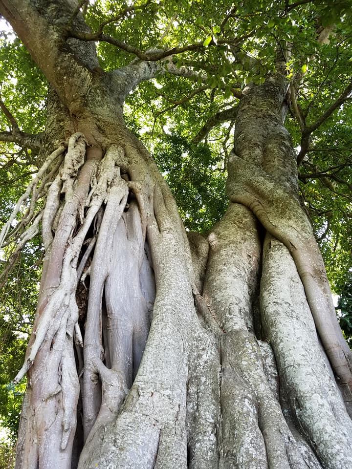2-3 ficus tree