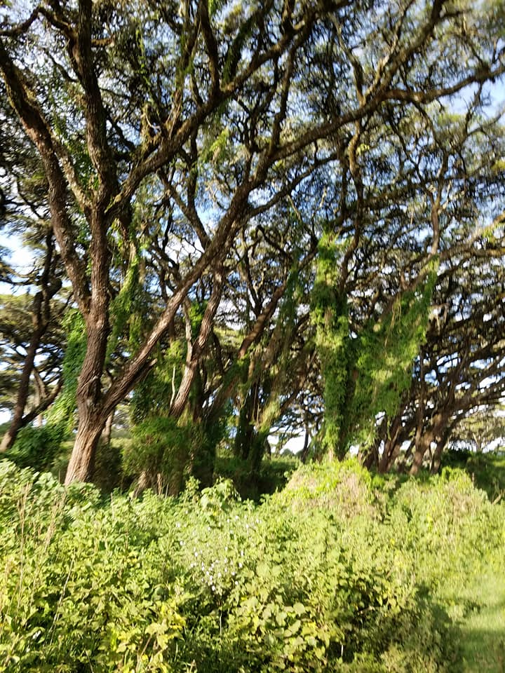 2-6 acacia forest