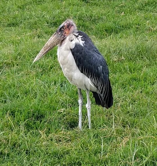 2-6 stork-Ngorongoro
