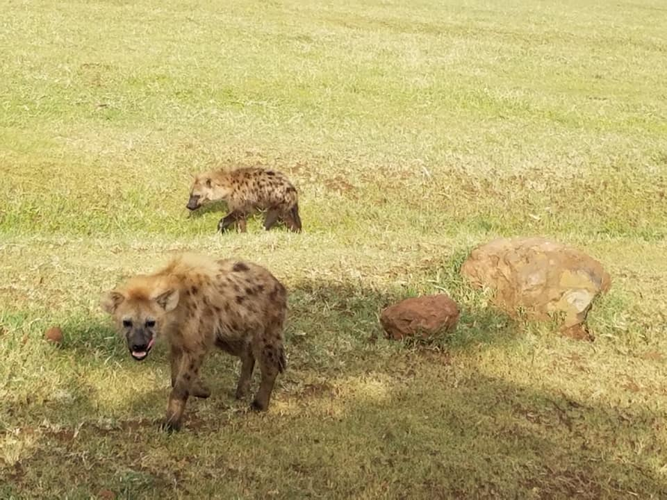 2-7 hyenas
