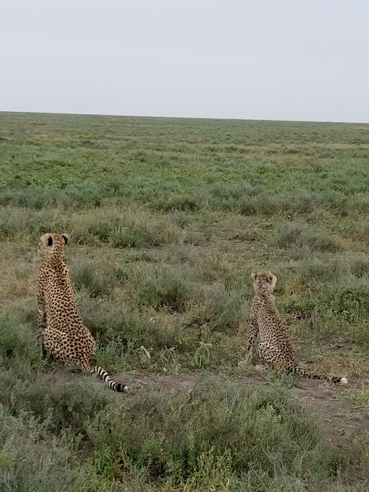 2-8 cheetah mother & cub1