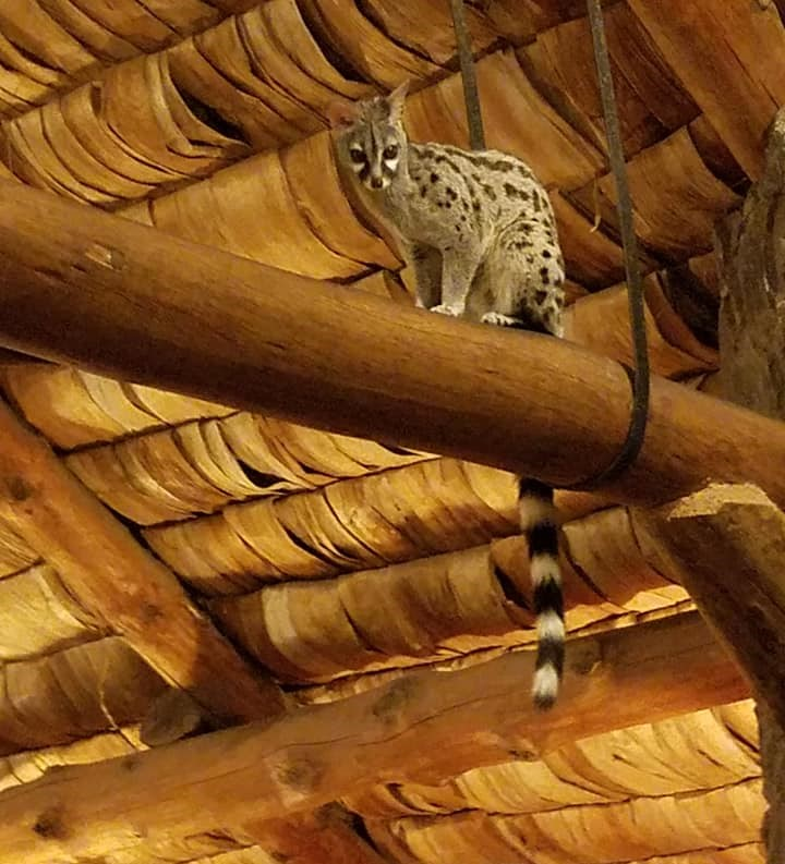 2-8 genet at Ndutu Safari Lodge3