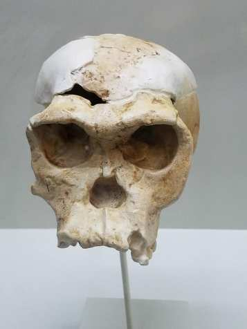 2-8 Oldupai-skull of homo habilis