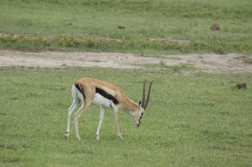This is a young male Thomson's gazelle.