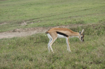 Thomson's gazelles are the smallest of the gazelles on the Tanzanian plains.