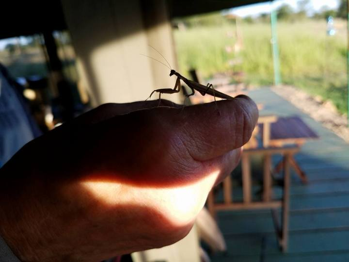 2-12 praying mantis-Ang'ata Camp in Serengeti