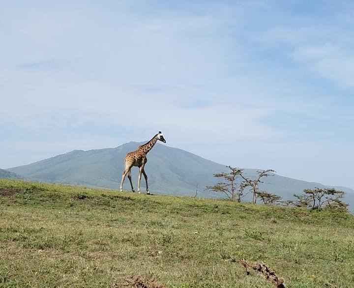 2-8 giraffe