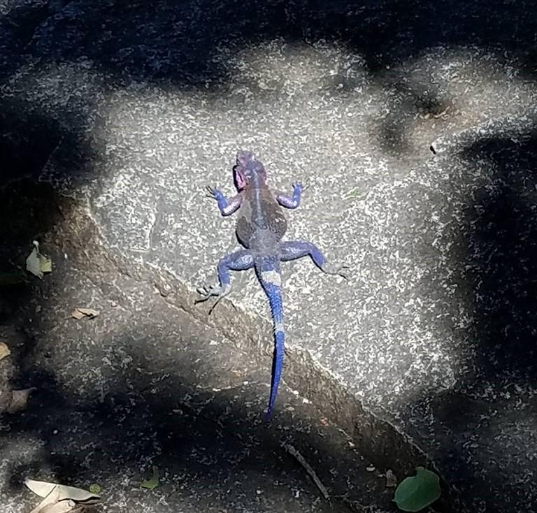 2-13 lizard at Serengeti NP Visitors Center