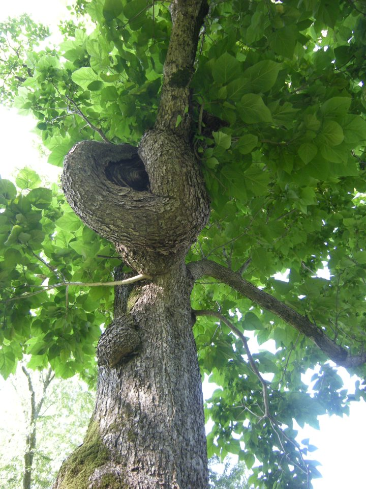 I liked the knot in this tree!