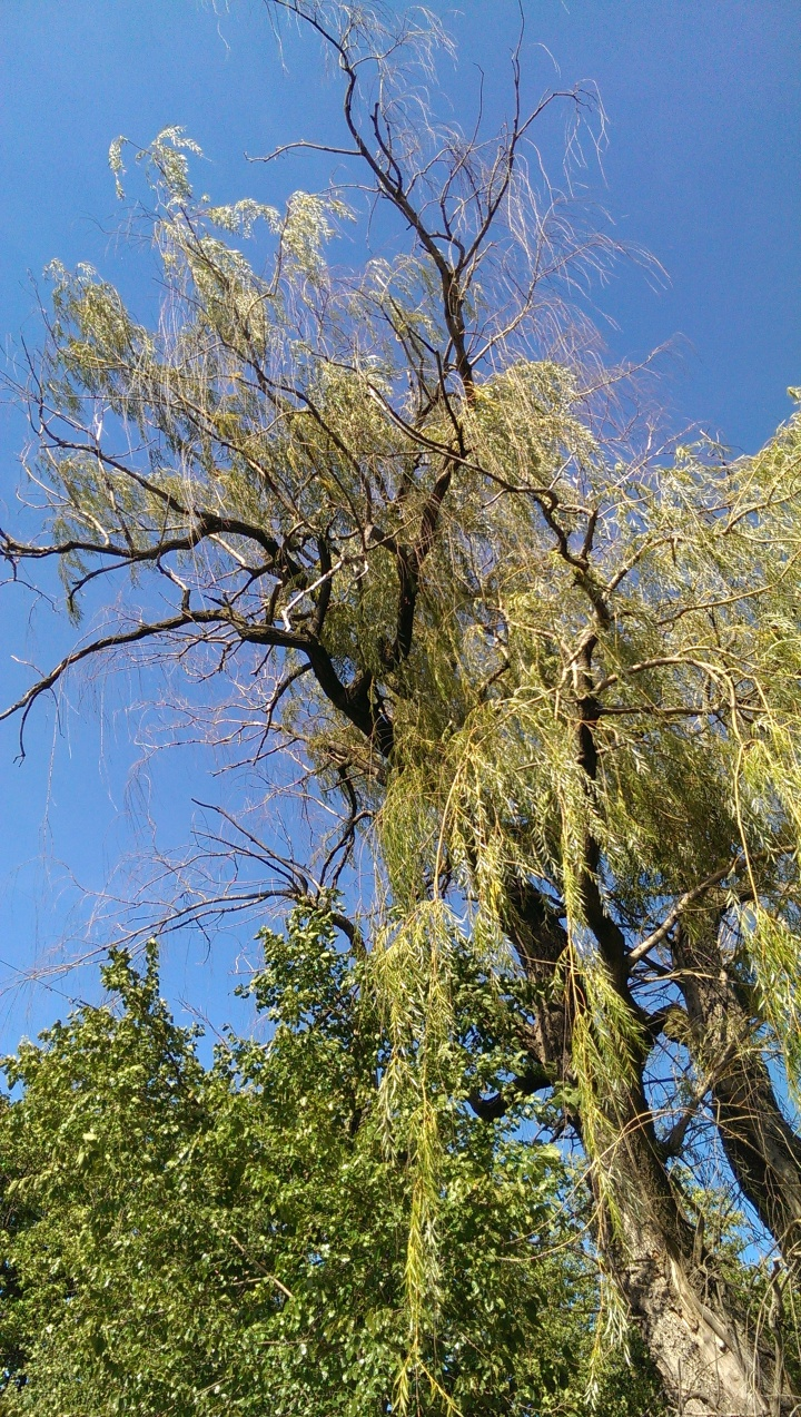 Willow tree, West Park, DP