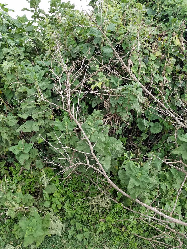 2-7 fence made of nettles & acacia thorn branches-Maasai compound
