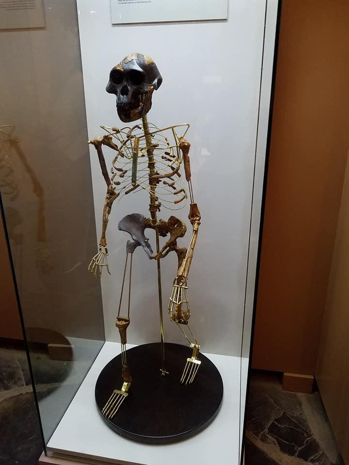 2-8 Oldupai-Lucy-australopithecus afarensis
