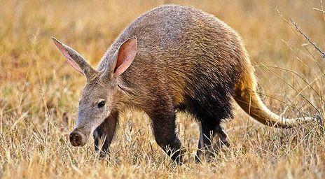 aardvark-info