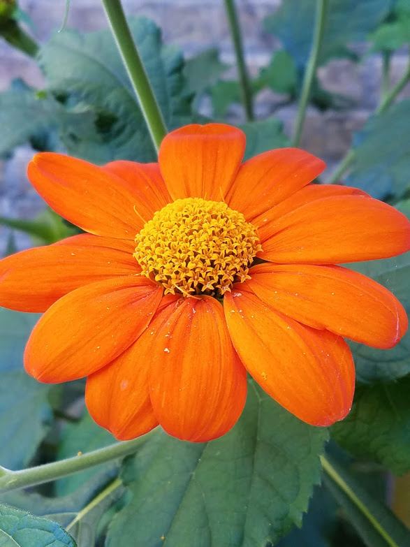 20180911_103702 Mexican sunflower