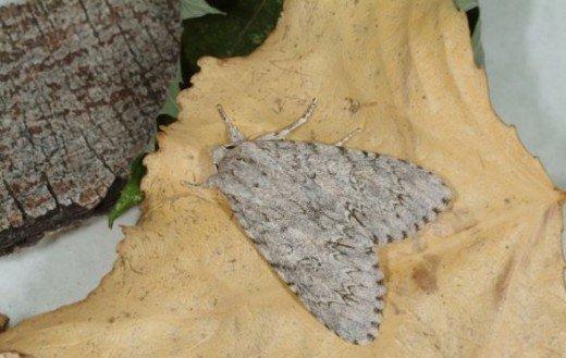 American dagger moth
