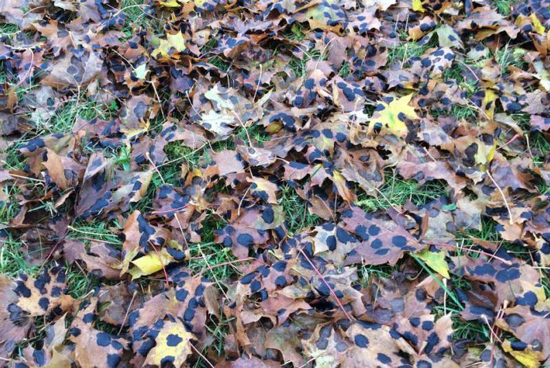 maple tar spot leaves