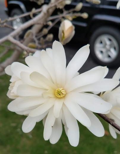 20190416_152925 magnolia blossom