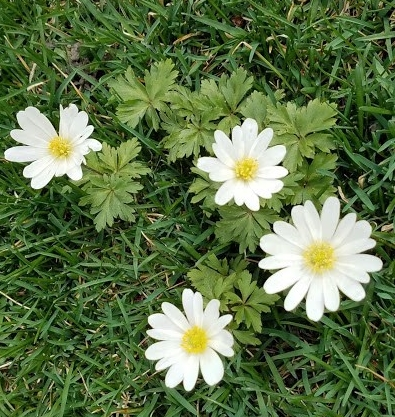 20190424_142254-anemone-baldensis.jpg