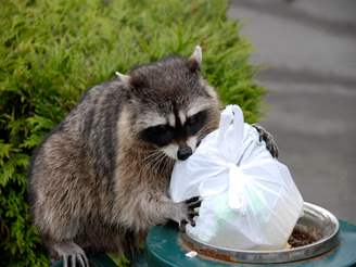 raccoon with garbage