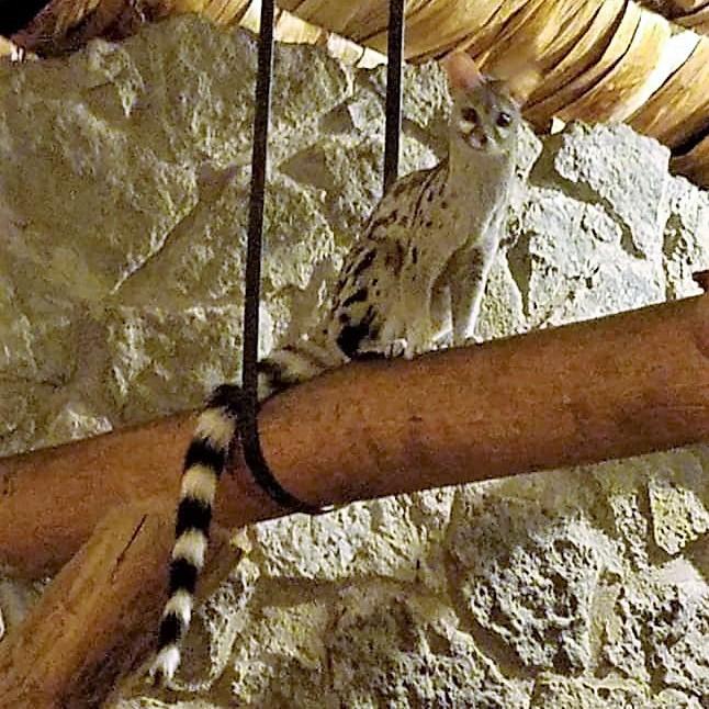 2-8 genet at Ndutu Safari Lodge2.jpg
