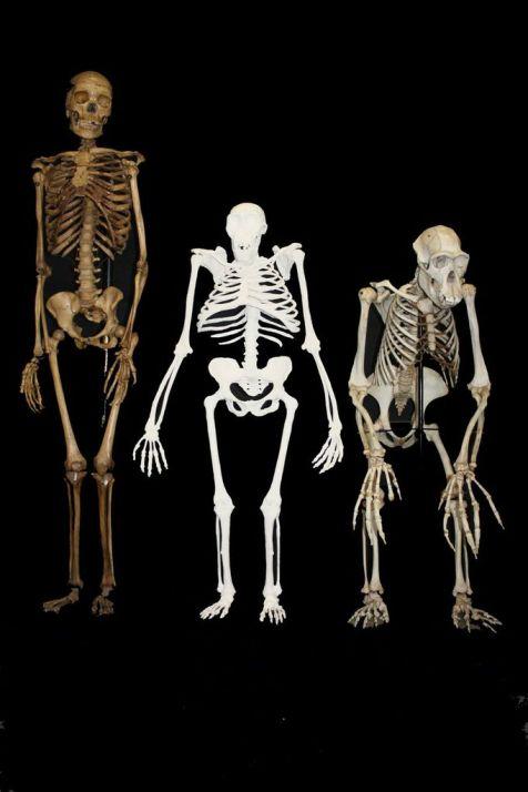 australopithecine skeletons.jpg