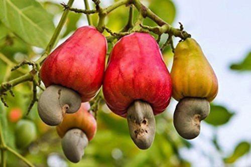 cashew apples