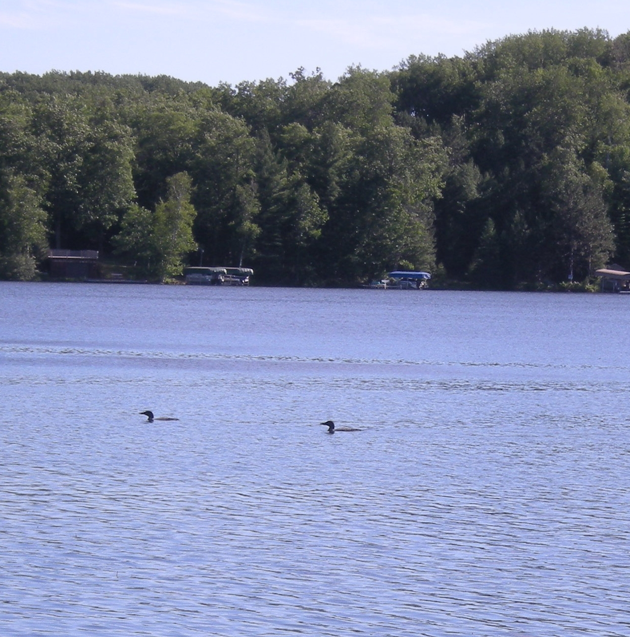 a pair of loons! They have been getting so close to the dock.
