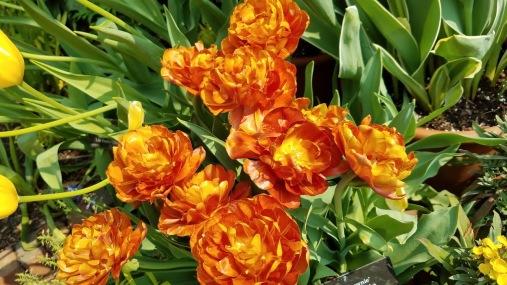 brownie tulip