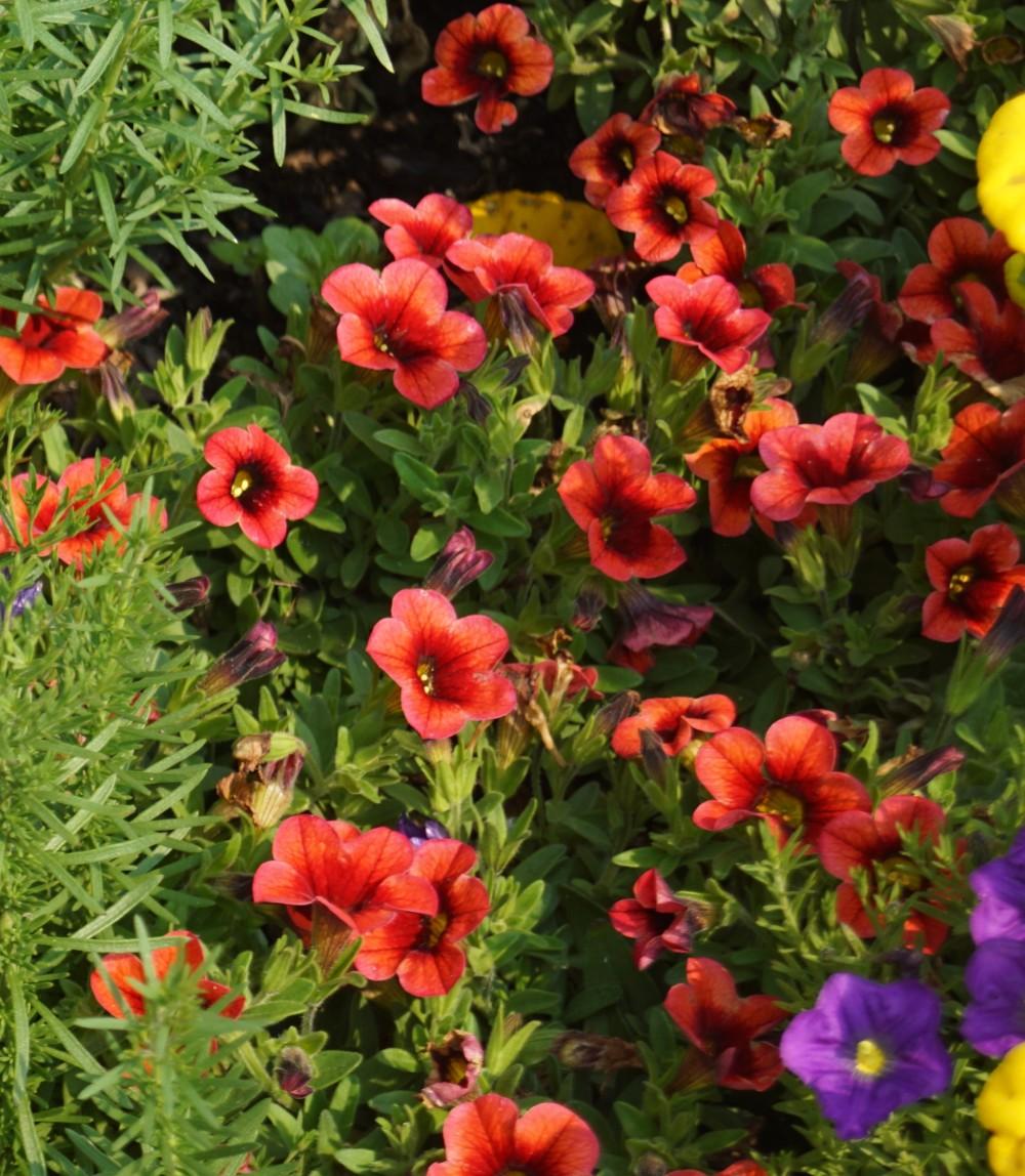 DSC00011 (2) Conga - orange kiss mini petunia