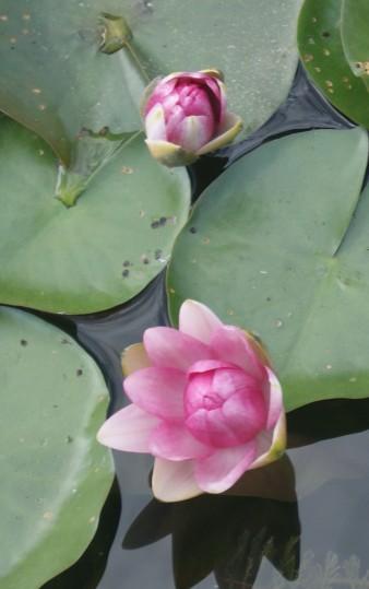 budding lotus flowers
