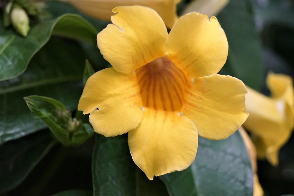 DSC02804 trumpet flower