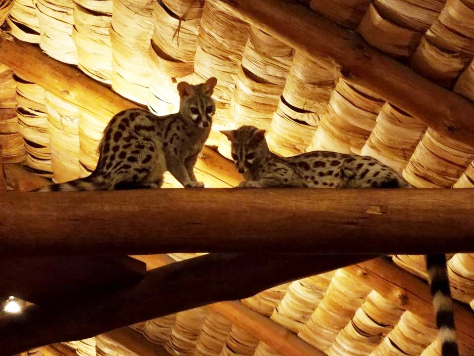 2-10 genets at Ndutu Safari Lodge