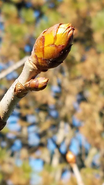20200401_170034 red chestnut bud